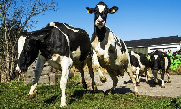 Koeien mogen naar buiten